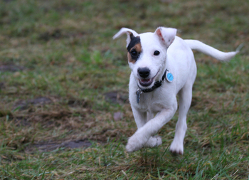 Parson Jack Russell Snap